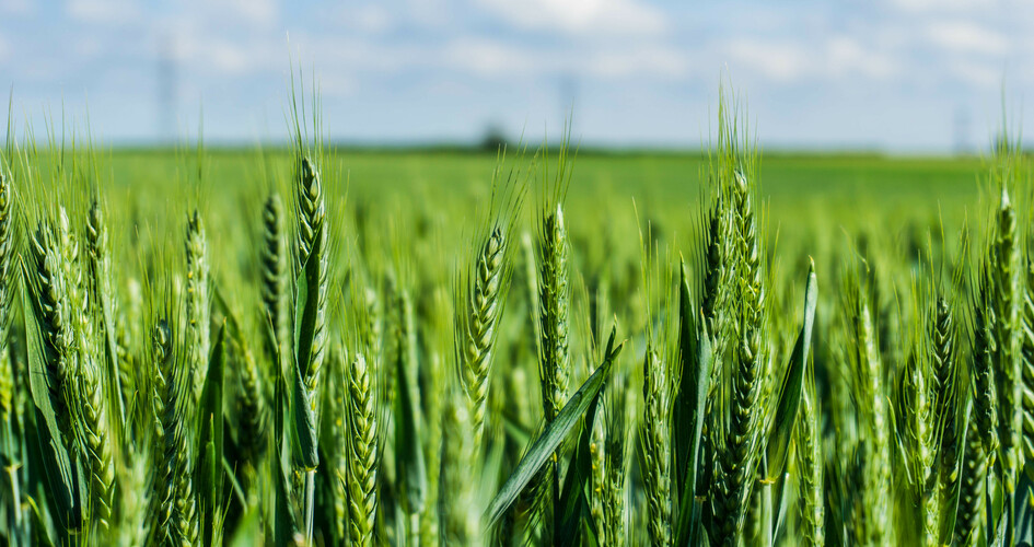 Increase grain protein with well timed nitrogen