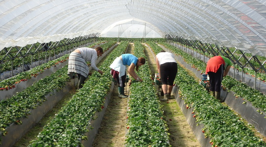 How to manage higher temperatures in strawberries