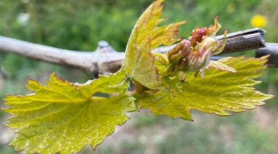 How to recover frost damaged fruit crops