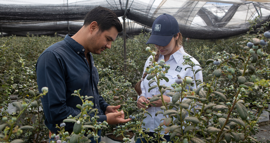 How to manage blueberry fertigation